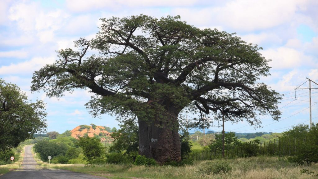 Baobab tree in the roadside north of Louis Trichardt - Renting a car in South Africa and Swaziland