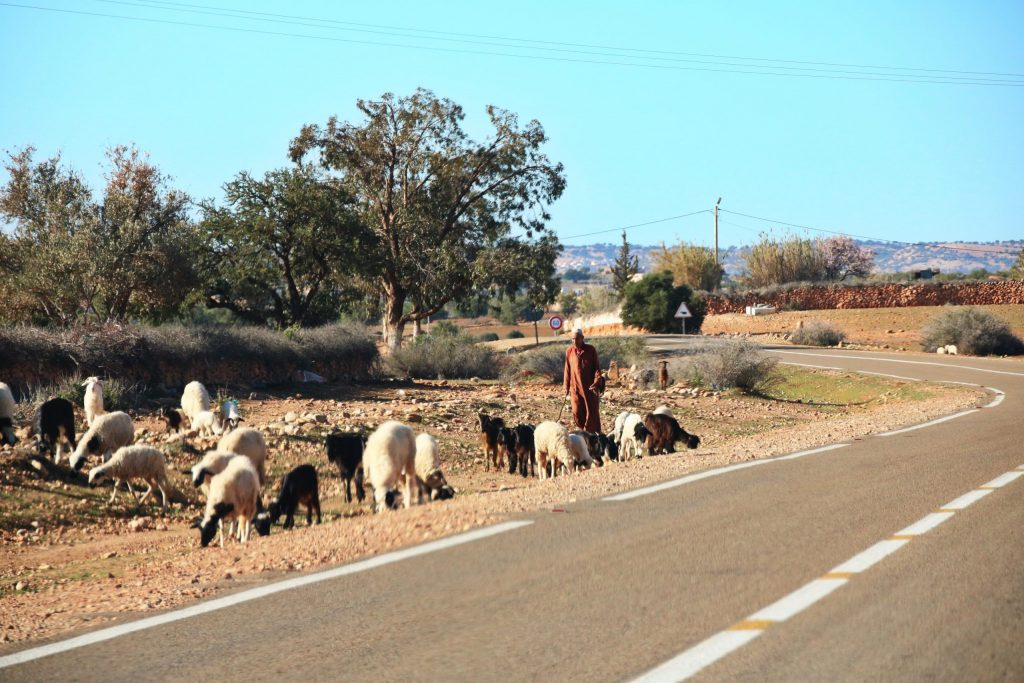 Shephard with goats, one-week Southern Morocco road trip