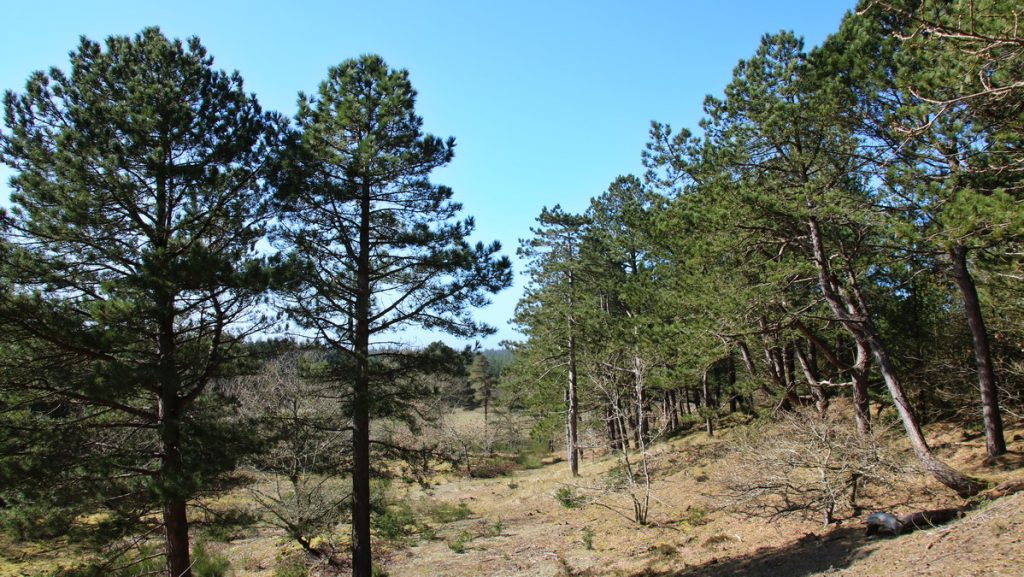 Trail in Tvorup klitplantage