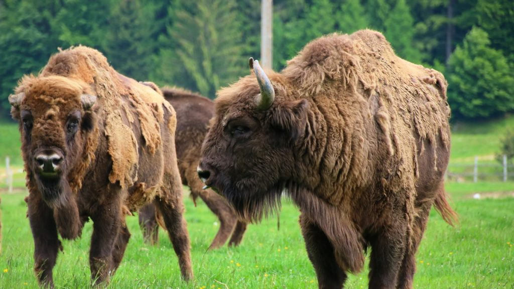 Bison in Valea Zimbrilor