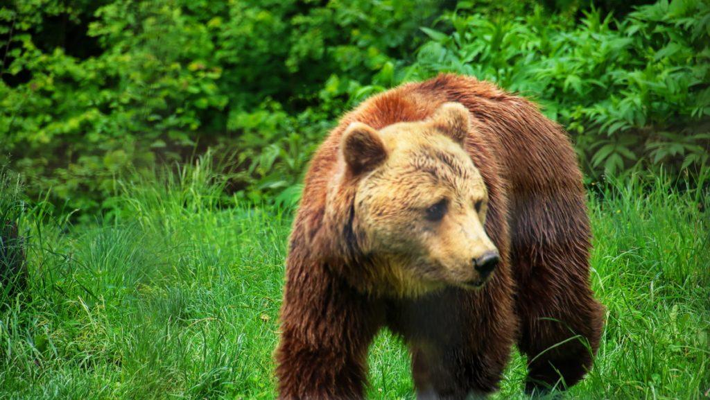 Bear in Libearty bear sanctuary
